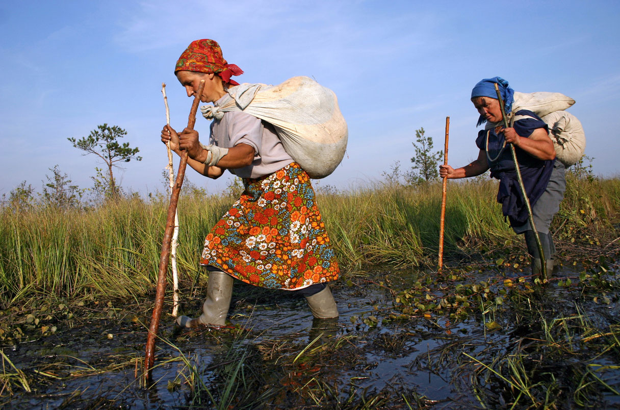 Local residents collect a cranberry, bear it)in bags on the shoulders from a bog in village Gorodeja (60 kms from city of Pinsk, the Brest area). Person collect apr. 20 kg of cranberry per day, Belarus  / Gorodeja/ September 8, 2005